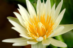Beautiful  yellow lotus blossom Stock Photos