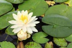 Lotus yellow flower. Beautiful yellow lotus flower blooming in pond stock photos