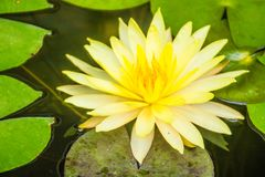 Beautiful yellow lotus with green leaves in swamp pond. Peaceful yellow water lily flowers and green leaves on the pond surface. Beautiful yellow lotus with stock photos