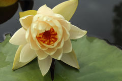 Beautiful yellow lotus over leaf and water Royalty Free Stock Image