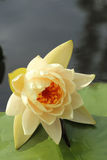 Beautiful yellow lotus over leaf and water Stock Photo