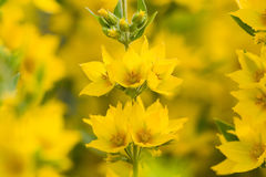 Beautiful yellow lupine flowers Stock Images
