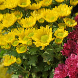 Beautiful yellow and magenta chrysanthemum Royalty Free Stock Images