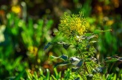 Beautiful yellow Mahonia aquifolium or Oregon grape. Spring flower growing in a garden stock image