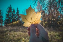 Beautiful yellow maple leaf in hand royalty free stock images