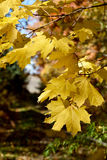 Beautiful yellow maple leaves close-up Royalty Free Stock Photos