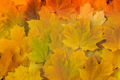 Beautiful yellow maple leaves on the grass. stock image