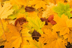Beautiful yellow maple leaves on the grass. stock photography