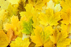 Beautiful yellow maple leaves on the grass. stock images