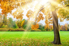 Beautiful yellow maple in the park with sunbeams at sunset Royalty Free Stock Photo