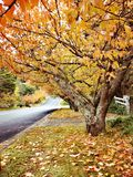 Maple trees @ Leura, Blue Mountains stock images