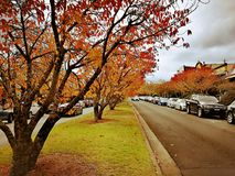 Maple trees @ Leura Town, Blue Mountains royalty free stock photography