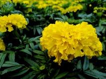 Beautiful yellow marigold, dark green leaves in the garden. Beautiful yellow marigold dark green leaves garden royalty free stock photography