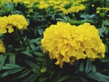 Beautiful yellow marigold, dark green leaves in the garden. Beautiful yellow marigold dark green leaves garden stock images