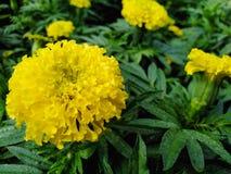 Beautiful yellow marigold, dark green leaves in the garden. Beautiful yellow marigold dark green leaves garden stock photos