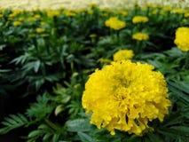 Beautiful yellow marigold, dark green leaves in the garden. Beautiful yellow marigold dark green leaves garden stock image