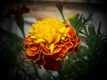 Blooming Marigold - Yellow with Orange Fringe. Beautiful Yellow Marigold with an Orange Fringe Fully Opened. Blurred Background royalty free stock photography