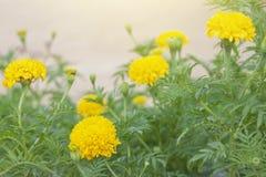 Beautiful yellow marigold with sunlight. stock photos
