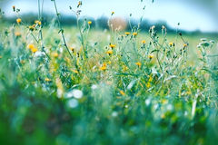 Beautiful yellow meadow flowers. In spring Stock Photos