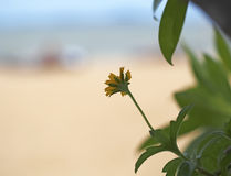 Beautiful yellow mexican sunflower field on the beach Royalty Free Stock Images