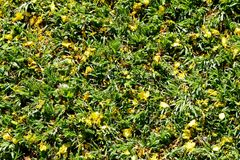 Beautiful yellow mosaic of Yellow African wattle flower on green grass Stock Photo