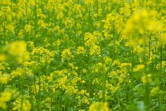 Beautiful yellow Mustard field in rural area. Mustard plants with green pods and beautiful yellow flowers at the farm Royalty Free Stock Images