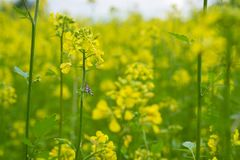 Beautiful yellow Mustard field in rural area. Mustard plants with green pods and beautiful yellow flowers at the farm Stock Images