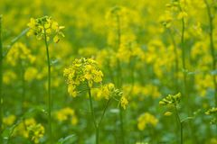 Beautiful yellow Mustard field in rural area. Mustard plants with green pods and beautiful yellow flowers at the farm Stock Photos
