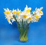 Beautiful yellow narcissus on blue. Background Royalty Free Stock Images