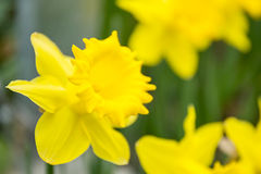 Beautiful yellow narcissus or daffodil flowers. Small DOF. Stock Image