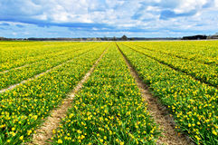 Beautiful yellow narcissus field Stock Photography