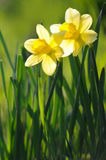 Beautiful yellow narcissus in sunshine Stock Images