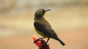 Yellow nectar bird at a blossom. Beautiful yellow nectar bird at a blossom Royalty Free Stock Image