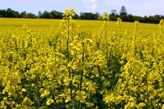 Beautiful yellow oil seed rape, Brassica napus flowers. Golden blossoming field and fluffy blue sky in sunny day. Rural royalty free stock photography