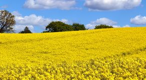 Beautiful Yellow Oilseed Rape Field With A Sunny Blue Sky In Summer Found In Northern Germany Royalty Free Stock Image