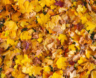 Beautiful yellow and orange autumn maple leaves carpet pattern Royalty Free Stock Image