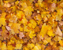 Beautiful yellow and orange autumn maple leaves carpet pattern. In the evening sun Royalty Free Stock Photography