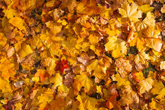 Beautiful yellow and orange autumn maple leaves carpet pattern. In the evening sun Stock Photos