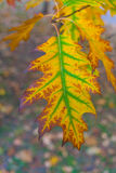 Beautiful yellow and orange autumn maple leaves with green in the middle closeup Stock Photos