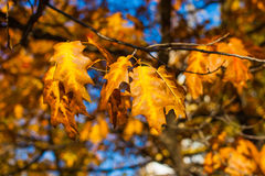 Beautiful yellow and orange autumn maple leaves over blue sky. Beautiful yellow and orange autumn maple leaves carpet pattern over blue sky in the evening sun Stock Image