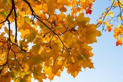 Beautiful yellow and orange autumn maple leaves over blue sky. Beautiful yellow and orange autumn maple leaves carpet pattern over blue sky in the evening sun Stock Images