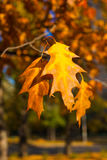Beautiful yellow and orange autumn maple leaves over blue sky closeup Stock Photo