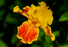 Beautiful yellow and orange Bearded Iris. Beautiful selective focus image of a bearded iris in full bloom Royalty Free Stock Image