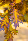 Beautiful yellow, orange and brown autumn maple leaves with green in the middle closeup. In the evening royalty free stock images