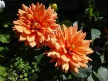 Two beautiful orange flower dahlia illuminated by the sun. stock image