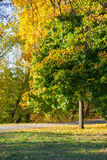 Beautiful yellow, orange and green colored autumn maple tree in the park. In the evening Stock Photography