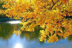 Beautiful yellow-orange oak leaves hang over the water in the autumn park stock image