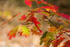 Beautiful yellow orange red autumn leaves background Royalty Free Stock Images