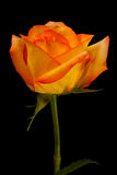 Beautiful yellow orange rose isolated on black. Beautiful orange yellow rose with dramatic lighting isolated on black background in vertical format stock photos