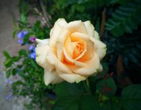 Beautiful yellow-orange rose with purple flowers in the background. stock photos